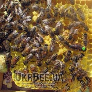 Пример метки с цифрой на пчелиной матке рис.2