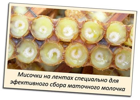 Мисочки размещенные рядами на ленте позволяют пчеловоду эффективно собирать маточное молочко